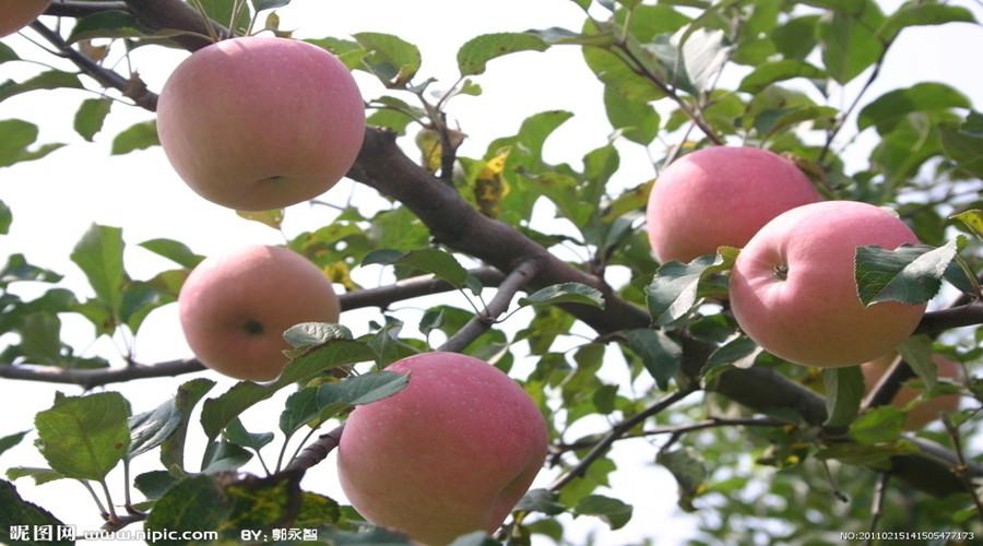 苹果树在1年的生长周期中